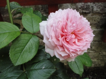 La plus belle du jardin